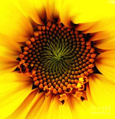 Photograph - Sunflower Macro With Oil Painting Effect by Rose Santuci-Sofranko