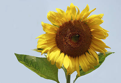 Gorgeous Photograph - Sunflower by Marcia Colelli