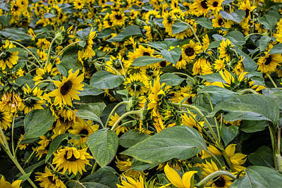 Sunflowers Royalty-Free and Rights-Managed Images - Sunflower by Martin Newman