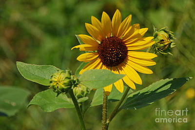 Photograph - Sunflower by Mary Carol Story