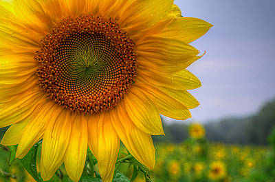 Sunflower Art Print by Michael Donahue