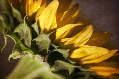 Photograph - Sunflower by Michael Yeager