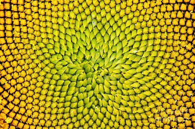 Sunflower Photograph - Sunflower Middle  by Tim Gainey