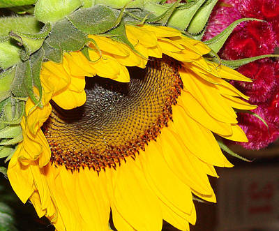 Flower Photograph - Sunflower by Mirek Bialy