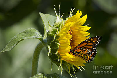 Photograph - Sunflower Monarch by Dennis Hedberg
