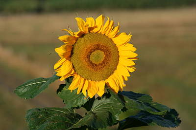 Photograph - Sunflower New Zealand by Phoenix De Vries