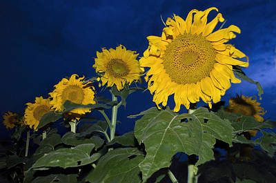 Photograph - Sunflower Nights by Dave Dilli
