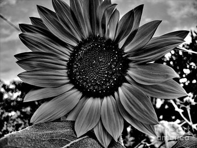 Photograph - Sunflower In Black And White by Nina Ficur Feenan
