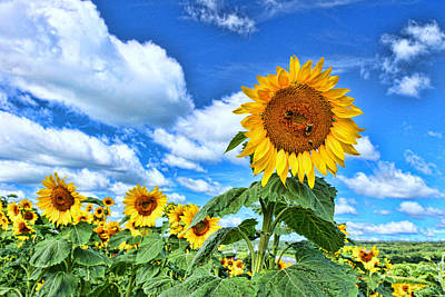 Photograph - Sunflower Nirvana 10 by Allen Beatty