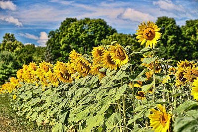 Photograph - Sunflower Nirvana 11 by Allen Beatty