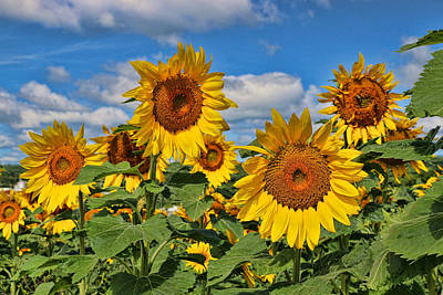 Photograph - Sunflower Nirvana 14 by Allen Beatty