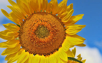 Photograph - Sunflower Nirvana 18 by Allen Beatty