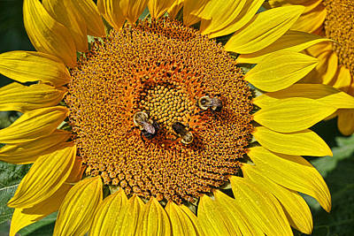 Photograph - Sunflower Nirvana 19 by Allen Beatty