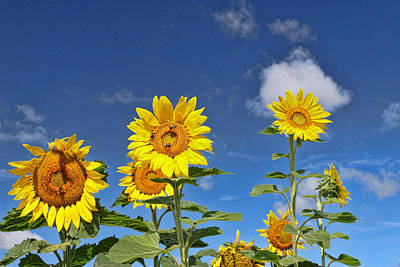 Photograph - Sunflower Nirvana 2 by Allen Beatty