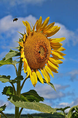 Photograph - Sunflower Nirvana 20 by Allen Beatty