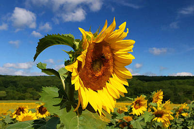 Photograph - Sunflower Nirvana 22 by Allen Beatty
