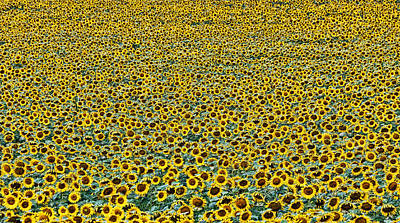 Photograph - Sunflower Nirvana 24 by Allen Beatty