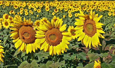 Photograph - Sunflower Nirvana 27 by Allen Beatty