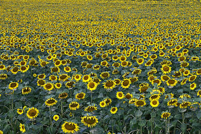 Photograph - Sunflower Nirvana 3 by Allen Beatty