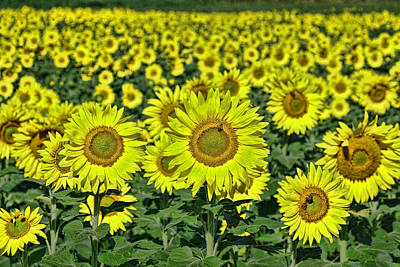 Photograph - Sunflower Nirvana 33 by Allen Beatty