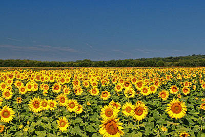 Photograph - Sunflower Nirvana 38 by Allen Beatty