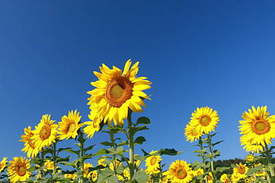 Photograph - Sunflower Nirvana 41 by Allen Beatty