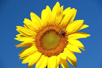 Photograph - Sunflower Nirvana 44 by Allen Beatty