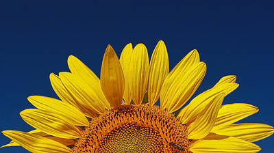 Photograph - Sunflower Nirvana 45 by Allen Beatty