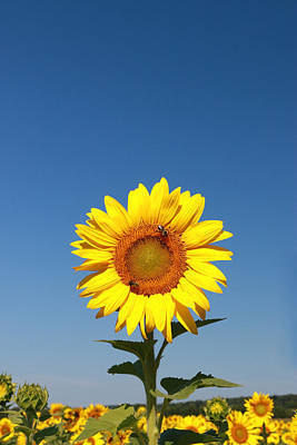 Photograph - Sunflower Nirvana 46 by Allen Beatty