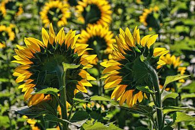 Photograph - Sunflower Nirvana 49 by Allen Beatty