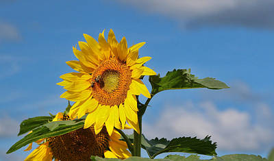 Photograph - Sunflower Nirvana 5 by Allen Beatty