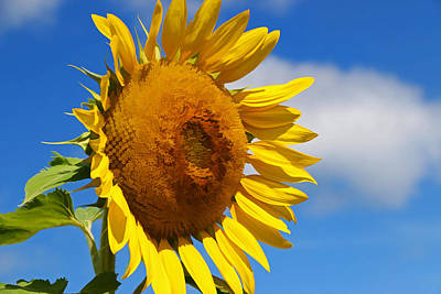 Photograph - Sunflower Nirvana 8 by Allen Beatty