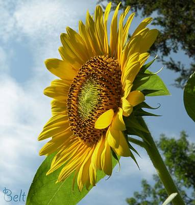 Artist Christine Belt Photograph - Sunflower No. 49 by Christine Belt