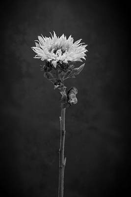 Sunflowers Royalty-Free and Rights-Managed Images - Sunflower Number 5 B W by Steve Gadomski