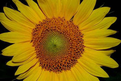 Photograph - Sunflower On Black by Dakota Light Photography By Dakota