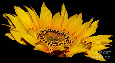 Photograph - Sunflower On Black by Rose Santuci-Sofranko