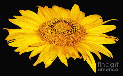 Photograph - Sunflower On Black With Oil Painting Effect by Rose Santuci-Sofranko