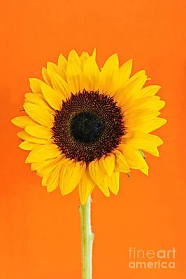 Sunflowers Royalty Free Images - Sunflower on orange Royalty-Free Image by Elena Elisseeva