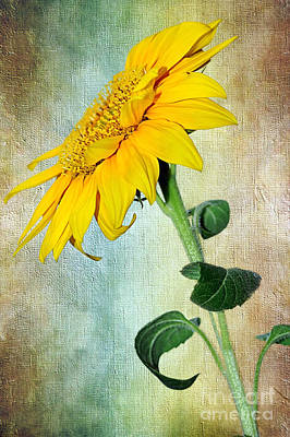 Sunflower On Textured Canvas Art Print by Kaye Menner