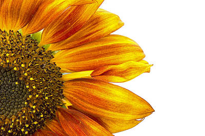 Photograph - Sunflower On White by Michele Wright