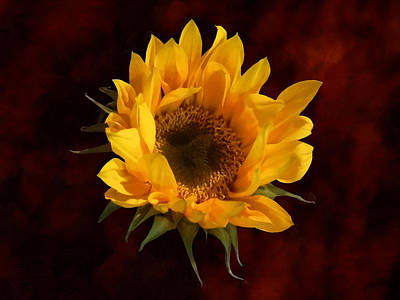 Blooms Photograph - Sunflower Opening by Susan Savad