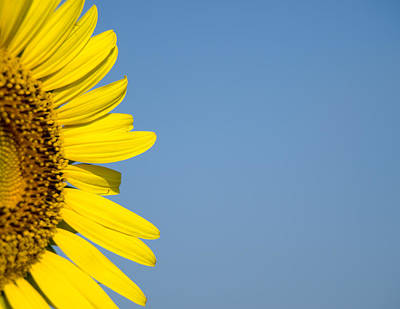 Sunflower Art Print by Paige Sims
