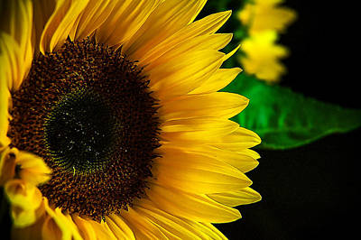Photograph - Sunflower by Patrick Boening