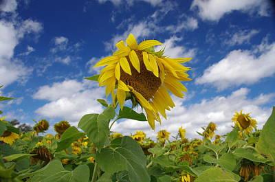 Sunflower Art Print by Philip Derrico