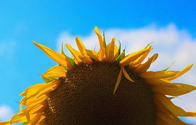 Flower Photograph - Sunflower Pop 2 by Cathy Lindsey