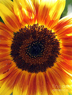 Photograph - Sunflower Pop by Erica Hanel