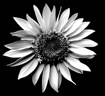 'sunflower Portrait' Art Print