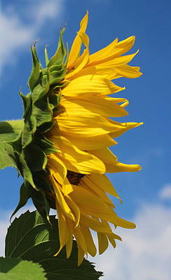 Photograph - Sunflower Profile by Cathy Lindsey