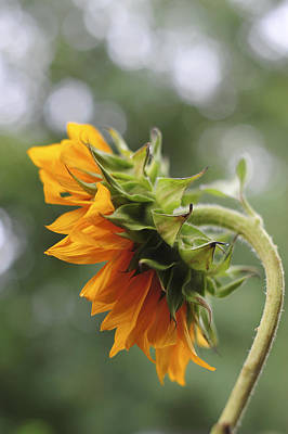 Sunflower Profile Art Print by Terry DeLuco