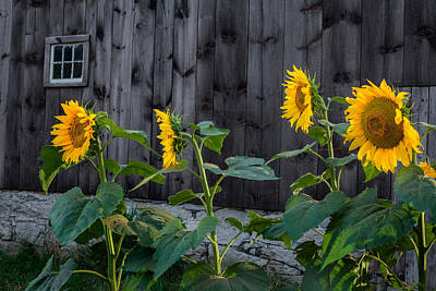 Sunflower Quartet Art Print by Bill Wakeley